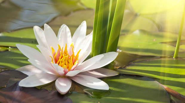 Цветы лотос