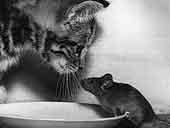 Мышка. Крыса